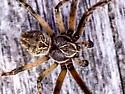 Unidentified Spider - Larinioides