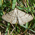 unidentified moth - Digrammia muscariata