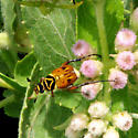 Delta Flower Beetle  - Trigonopeltastes delta