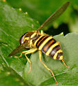 syrphid - Xanthogramma flavipes
