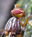 Picture-winged Fly - Idana marginata