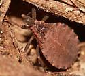 Bug - Triatoma