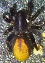 C. occidens female - Castianeira occidens - female