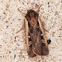 Striacosta albicosta - Western Bean Cutworm Moth - Striacosta albicosta