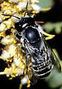 Megachile - Megachile newberryae - female
