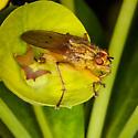 Golden Diptera? - Scathophaga stercoraria - male