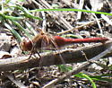 what kind of Meadowhawk is this in BC? - Sympetrum vicinum