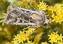 Army Cutworm Moth - Euxoa auxiliaris