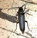 Black flying beetle - Arhopalus
