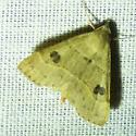 unknown moth - Hemeroplanis habitalis
