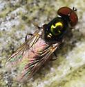 black-horned gem - Microchrysa polita - male