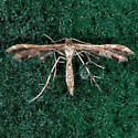 Unidentified Plume Moth