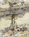 Fairfax wasp - female