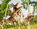 Lots of Baltimore Checkerspots - Euphydryas phaeton