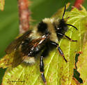 Bee from BugGuide Gathering - Bombus fernaldae