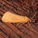 Orange Holomelina Moth - Virbia aurantiaca