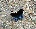 Black & Blue Butterfly - Limenitis arthemis
