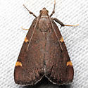 Hypsopygia sp. undescribed - Hypsopygia new-species