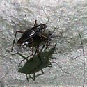 Mating Mesoveliid - Mesovelia - male - female