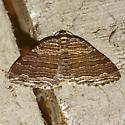 Many-lined Carpet Moth - Hodges #7330  - Anticlea multiferata