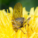 Fly on Dandelion - Scathophaga stercoraria