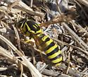 Possibly Crabronid Wasp -Philanthus - Pseudomasaris - female
