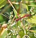 Cherry-faced Meadowhawk - Sympetrum internum - male - female
