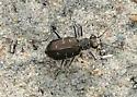 Ocean Beach Tiger Beetles Dartmouth, MA, suspecting Cicindela duodecimguttata