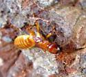 Pacific Dampwood Termite - Zootermopsis angusticollis