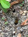 Ground swarm bee - Colletes