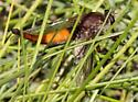 Dipteran (I believe) - Proctacanthus rufus