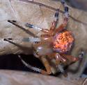 Ozark Spider - Araneus marmoreus