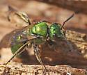 metallic bee - Augochlora pura