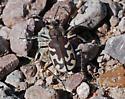 What kind of tiger beetle? - Cicindela tranquebarica