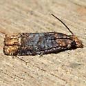 Phaneta ochroterminana - Eucosma ochroterminana