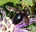 Bee - Xylocopa