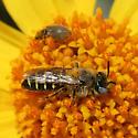 Megachilid? - Calliopsis puellae - male