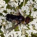 Bee FlyIMG_3690 - Villa
