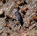 Springtail ID Request - Pogonognathellus