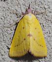 moth - Phytometra orgiae