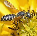Bee - Megachile inimica
