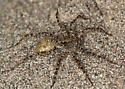 wolf spider with egg sac - Pardosa xerampelina - female