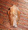 Heterocera 17a - Phyllodesma americana