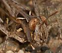 Texas Spotted Range Grasshopper - Psoloessa texana - female