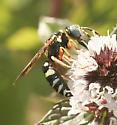 Wasp ID please.. - Philanthus ventilabris