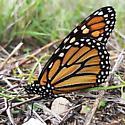 Monarch butterfly migrating - Danaus plexippus