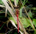 Meadowhawk - Sympetrum obtrusum - male