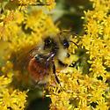 Bee - Bombus ternarius