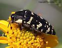 Buprestid - Acmaeodera macra
