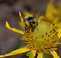 Cockerell's Bumble Bee - Bombus cockerelli